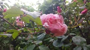 Pink Rose a1