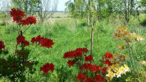 Spring 2014 azaleas red
