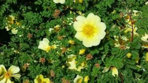 Spring 2014 yellow rose