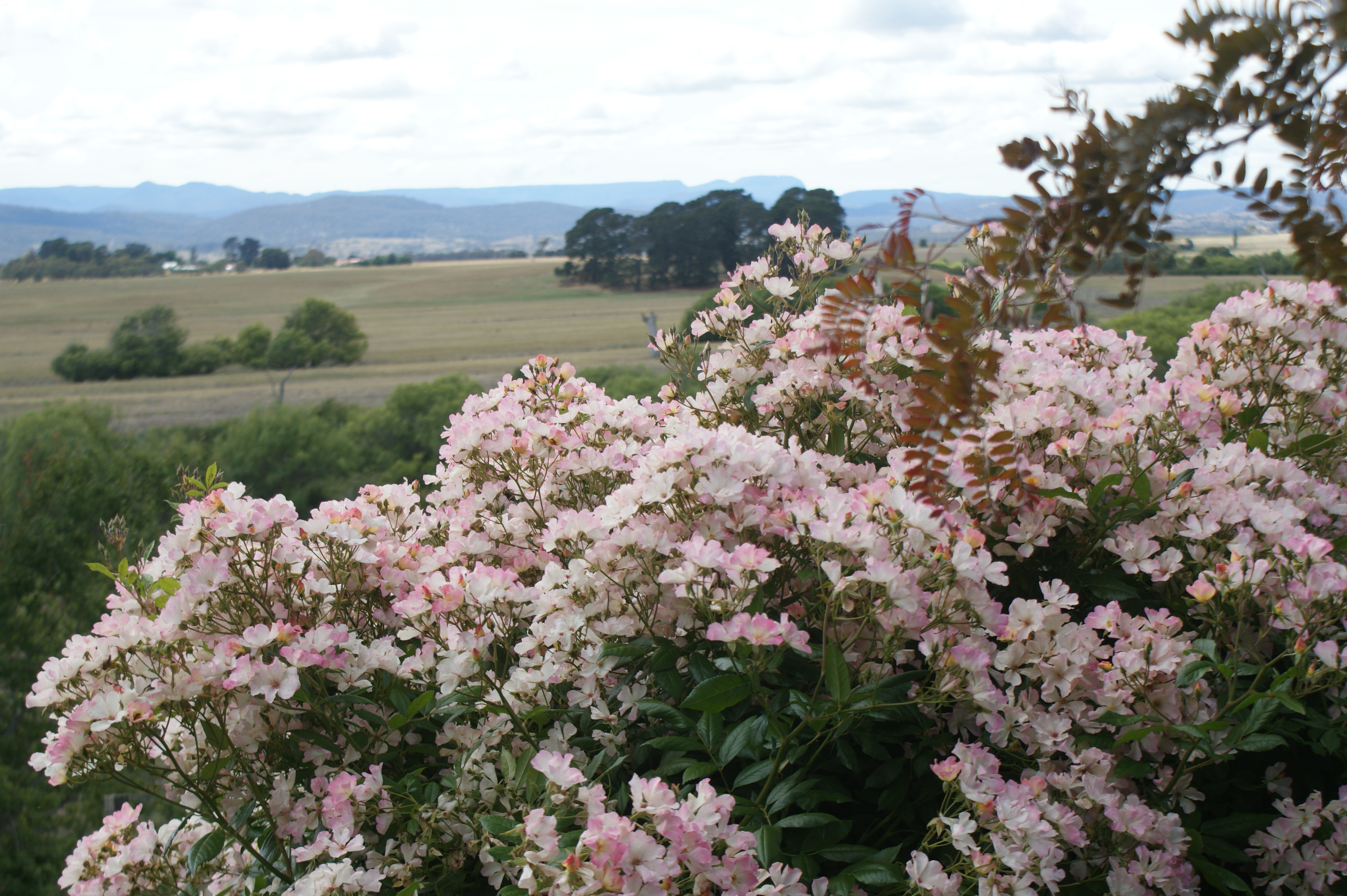 ericvale_roses_tasmanian_rose_gardens_2