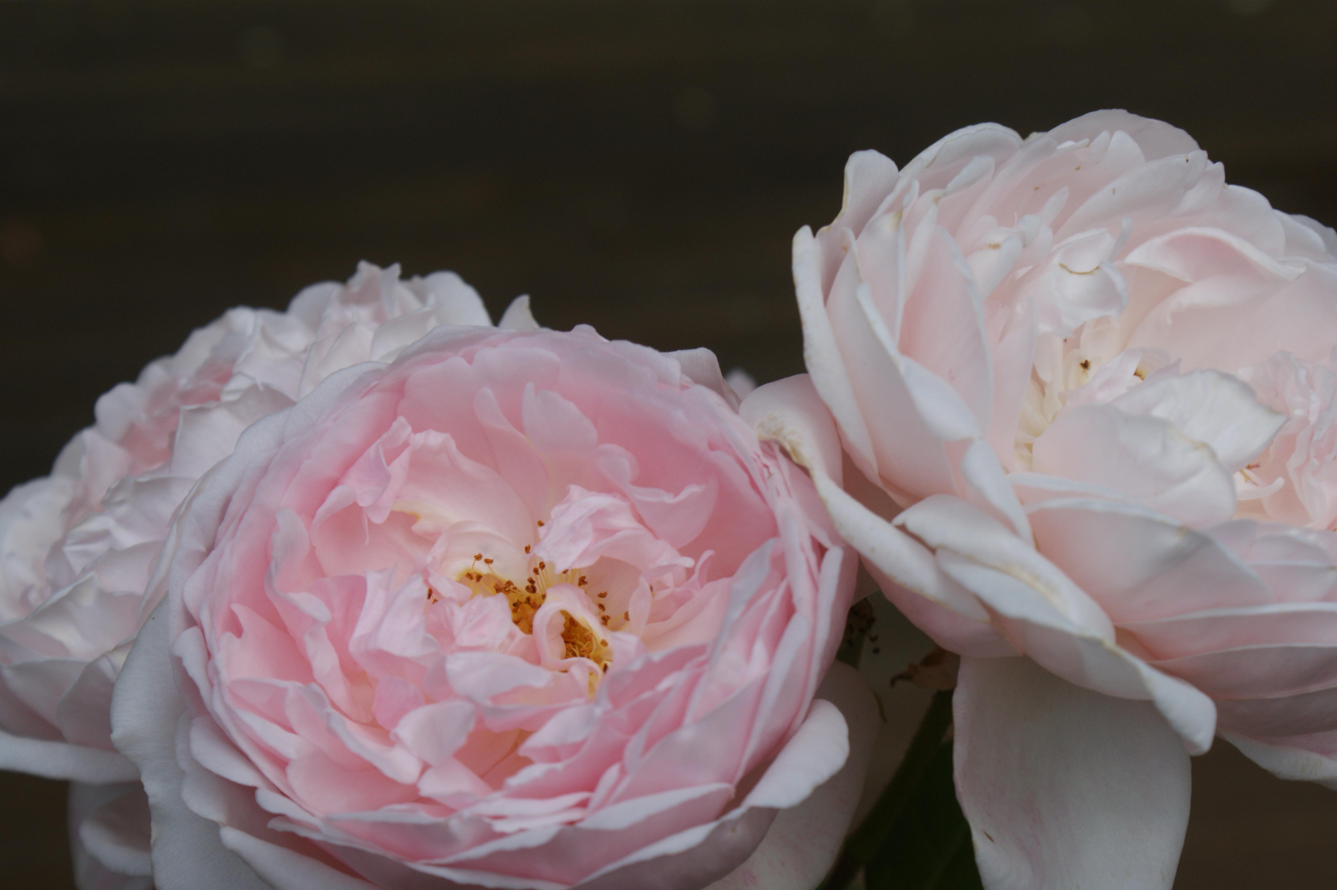 ericvale_roses_tasmanian_rose_gardens_4
